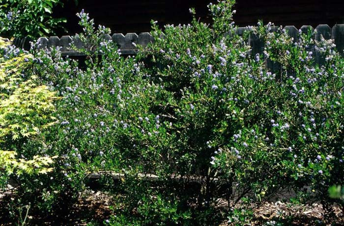 Plant photo of: Ceanothus thyrsiflorus 'Skylark'