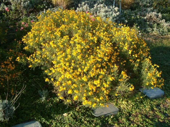 Plant photo of: Tagetes lemmonii