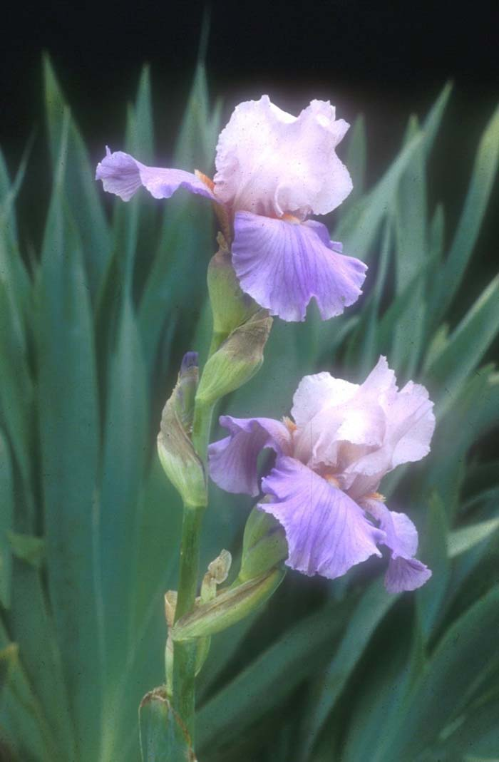 Plant photo of: Iris bearded 'Heather Blush'