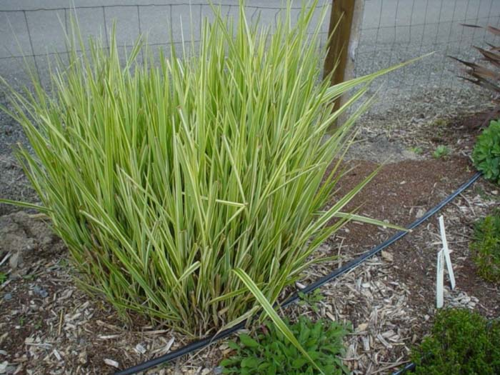 Plant photo of: Miscanthus sinensis 'Silberfeder'