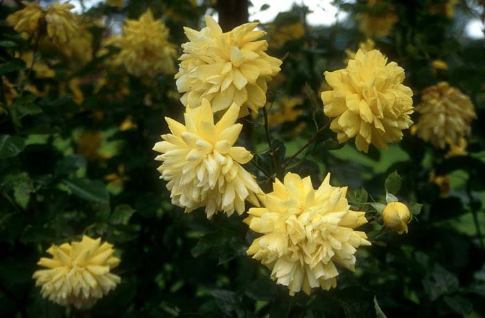 Plant photo of: Rosa 'Golden Showers'