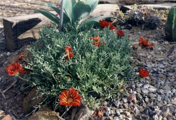 Plant photo of: Gazania X rigens leucolaena