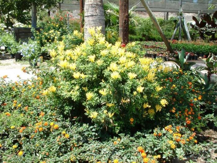 Plant photo of: Tecomaria capensis 'Aurea'