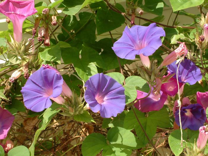 Plant photo of: Ipomoea tricolor