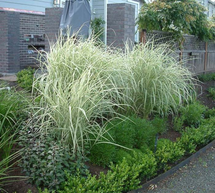 Miscanthus sinensis 39 variegatus 39 for Japanese mounding grass