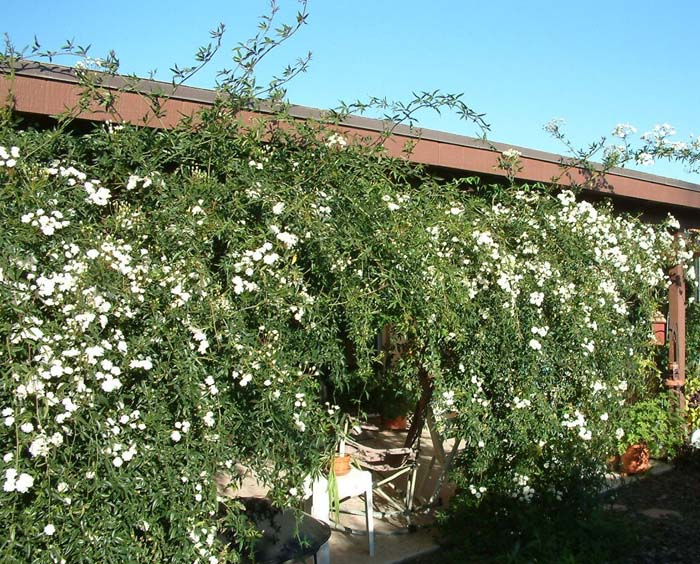 Plant photo of: Rosa banksiae
