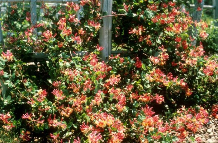 Plant photo of: Lonicera X heckrottii