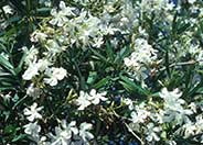 Nerium oleander 'Little White'