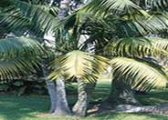 Kentia Palm, Paradise Palm