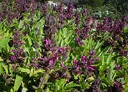 Hummingbird Sage, Pitcher Sage