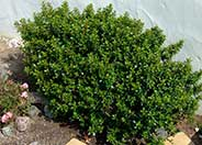 Escallonia 'Newport Dwarf'