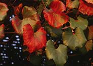 Vitis X californica 'Roger's Red'