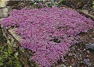 Mother-of-Thyme, Creeping Thyme