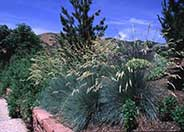 Helictotrichon sempervirens