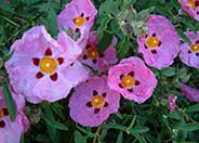 Orchid or Purple Rockrose