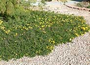 Lantana 'Trailing Yellow'