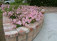 Pink Mexican Evening Primrose