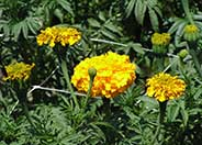 American or African Marigold