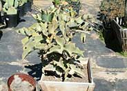 Felt Plant or Bush, Velvetleaf