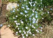 Five-Spot Nemophila