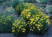 Coreopsis verticillata 'Golden Shower'