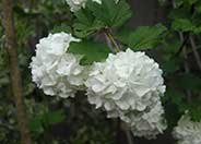 Snow Ball Viburnum